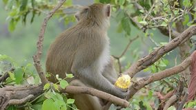 Rhesus Monkey eating Corn