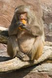 Rhesus monkey eating orange Stock Photos