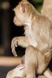 A rhesus monkey Stock Photography