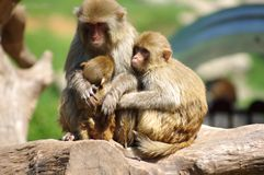 Rhesus monkey family. A warmth family,Close embrace Royalty Free Stock Photo