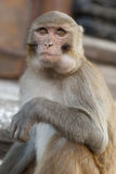 Rhesus monkey with food pouch in cheeks Royalty Free Stock Photography