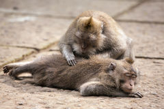 Rhesus monkey grooming spa in monkey forest, Bali Royalty Free Stock Photo