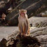 Rhesus monkey at the Heidelberg's Zoo, Germany Royalty Free Stock Image