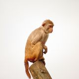 Rhesus monkey at the Heidelberg's Zoo, Germany. 2011 Royalty Free Stock Photos