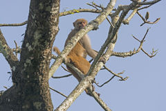 Rhesus Monkey high in a Tree Royalty Free Stock Photography