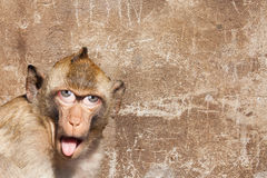 Rhesus monkey with his tongue sticking out, with human eyes and gray wall in the background Royalty Free Stock Image