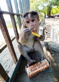 Rhesus monkey in india drinks from tourists´ can royalty free stock photos