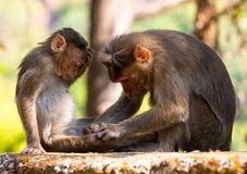 Rhesus monkey in india facepalms royalty free stock photo