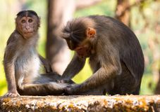 Rhesus monkey in india royalty free stock images