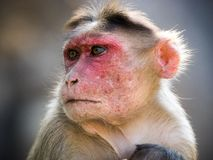 Rhesus monkey in india portrait. Closeup from a rhesus monkey in india, mumbai royalty free stock images