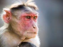 Rhesus monkey in india portrait stock image