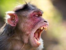 Rhesus monkey in india portrait stock photos