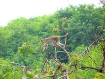 A Rhesus Monkey Jumping on Braches of a Tree Royalty Free Stock Images