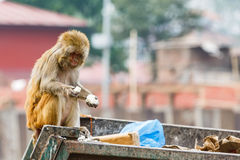 Rhesus monkey looking for food Royalty Free Stock Photo