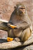 Rhesus monkey looking up Royalty Free Stock Photography