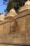 Rhesus Monkey Stock Image