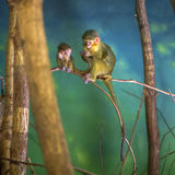 A rhesus monkey mother Royalty Free Stock Photos
