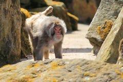 Rhesus monkey Stock Photography