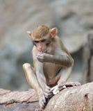 The rhesus monkey Royalty Free Stock Photo