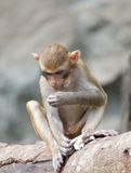 The rhesus monkey Royalty Free Stock Photography