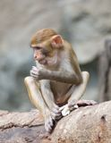 The rhesus monkey Stock Images