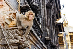 Rhesus monkey sitting on the wall Stock Photo