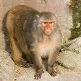 Rhesus monkey - square image Royalty Free Stock Image