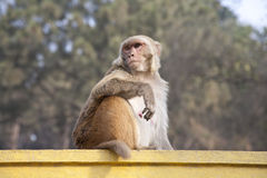 Rhesus monkey in Swayambhunath, Kathmandu. Royalty Free Stock Photos