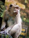 Rhesus Monkey in Ubud, Bali Stock Photography