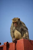 Rhesus monkey Stock Images