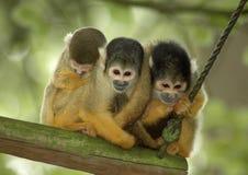 Rhesus monkeys. Three rhesus monkeys sitting close together on a stick Stock Photos
