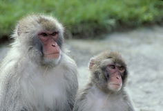 Rhesus monkeys Stock Image
