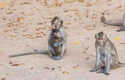 Rhesus monkeys Family stock photo