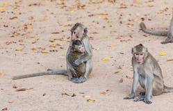 Rhesus monkeys Family Stock Photo