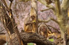 Rhesus monkeys at Heidelberg Zoo, Germany Stock Photo