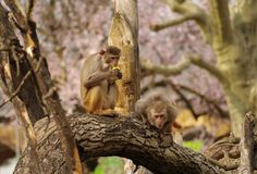 Rhesus monkeys at Heidelberg Zoo, Germany. Rhesus monkeys are defending their food, Heidelberg Zoo, Germany Royalty Free Stock Photos