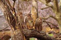 Rhesus monkeys at Heidelberg Zoo, Germany Stock Photography