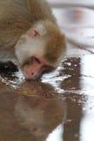Rhesus Monkeys Stock Image
