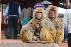 Rhesus Monkeys Stock Photo
