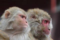 Rhesus Monkeys Stock Photography