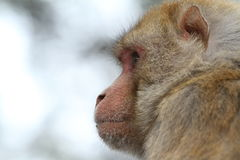 Rhesus Monkeys Royalty Free Stock Photography