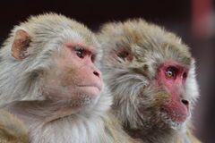 Rhesus Monkeys Royalty Free Stock Images