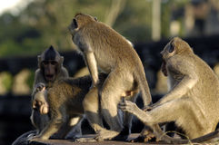 Rhesus monkeys mating at Angkor Wat Stock Image