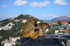 Rhesus monkeys. Two monkeys are enjoying the sun in Shimla, Himachal, India Stock Images