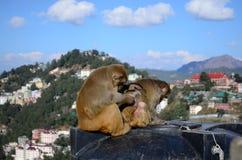 Rhesus monkeys Stock Images