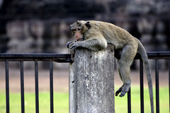 Rhesus sit on rail fence. Background is Pagoda. Rhesus is Kind of monkey Royalty Free Stock Photography