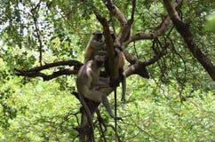Rhesusaffe-indischer Affe lizenzfreies stockfoto