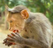 Rhesusaffen Lat Macaca mulatta Makaken, weithin am bekanntesten Stockfotos