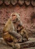 Rhesusapamacaques som matar hennes unge, Uttar Pradesh, Varanasi, Indien arkivfoto