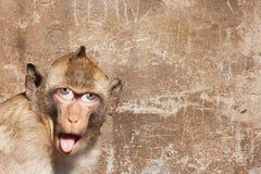 Rhesusapor härmar med hans tunga som ut klibbar, med mänskliga ögon och den gråa väggen i bakgrunden Royaltyfri Bild